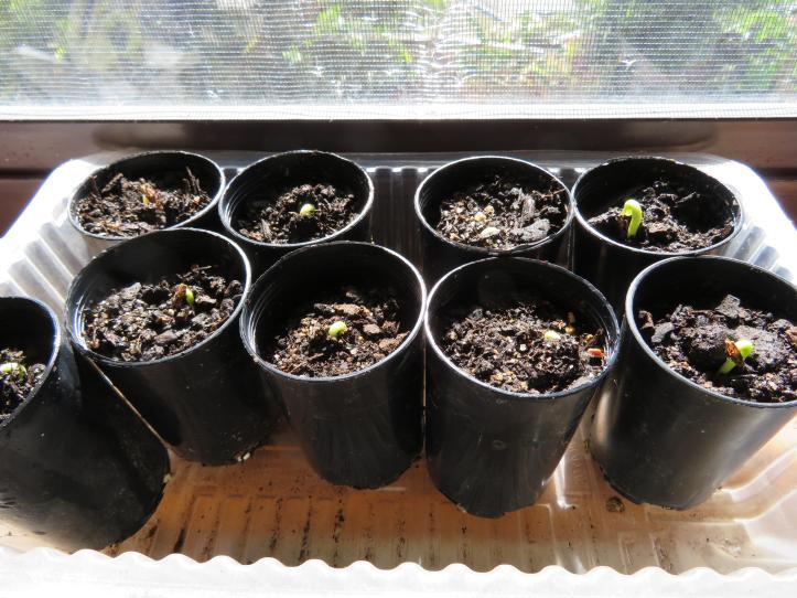 seedling desert rose 003_5184x3888