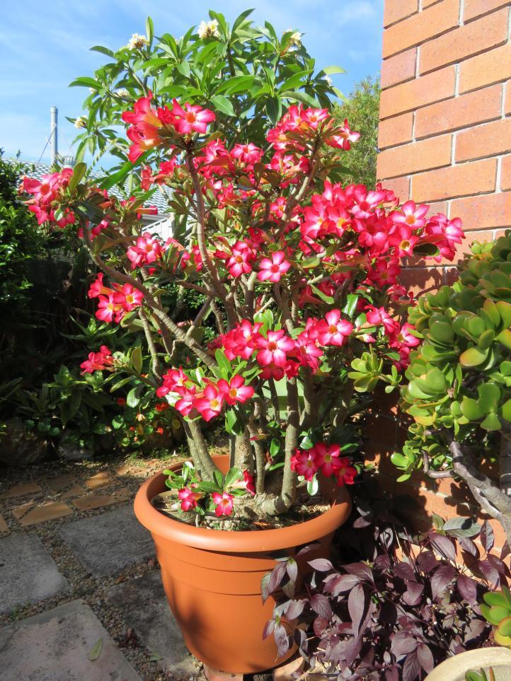seedling desert rose 012_3888x5184