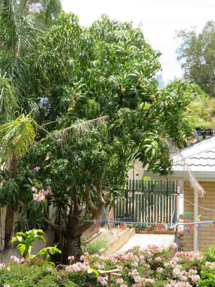 shed garden mango tree next door 016_3888x5184
