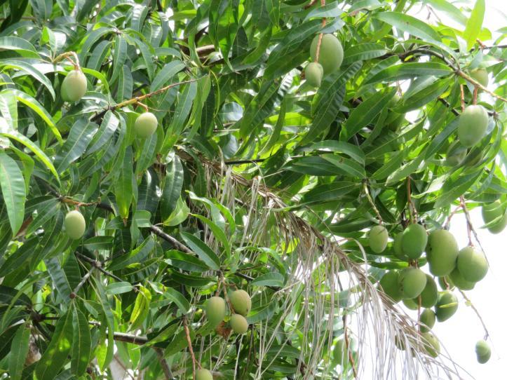 shed garden mango tree next door 017_5184x3888