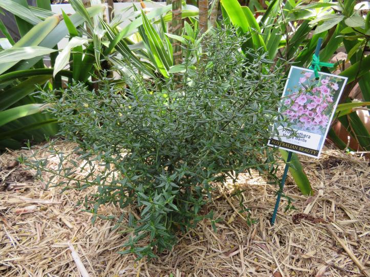 prostanthera mint bush
