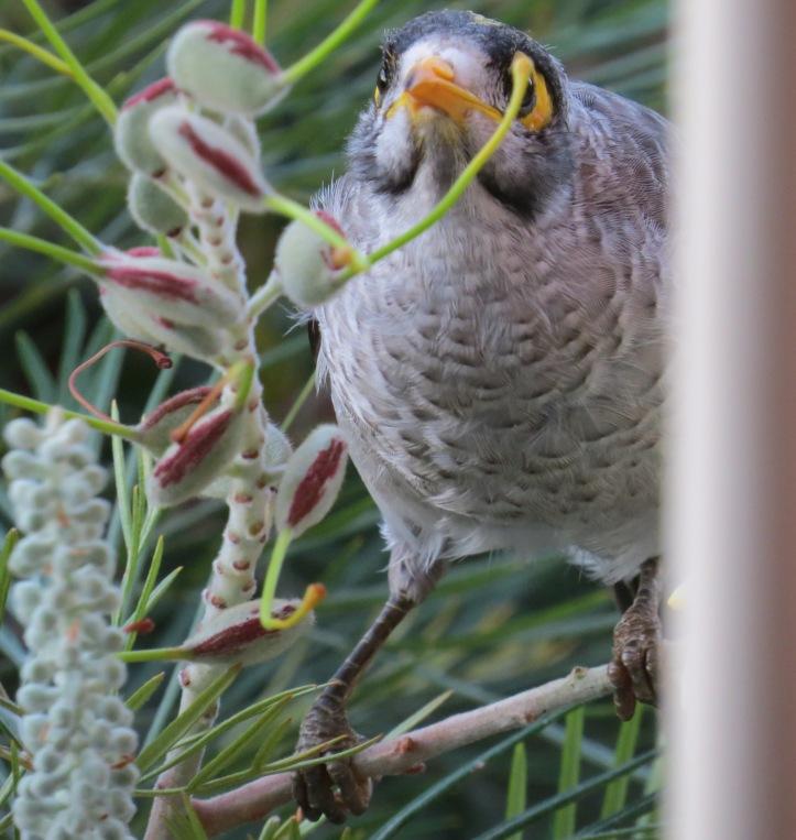 desert rose minor bird 030