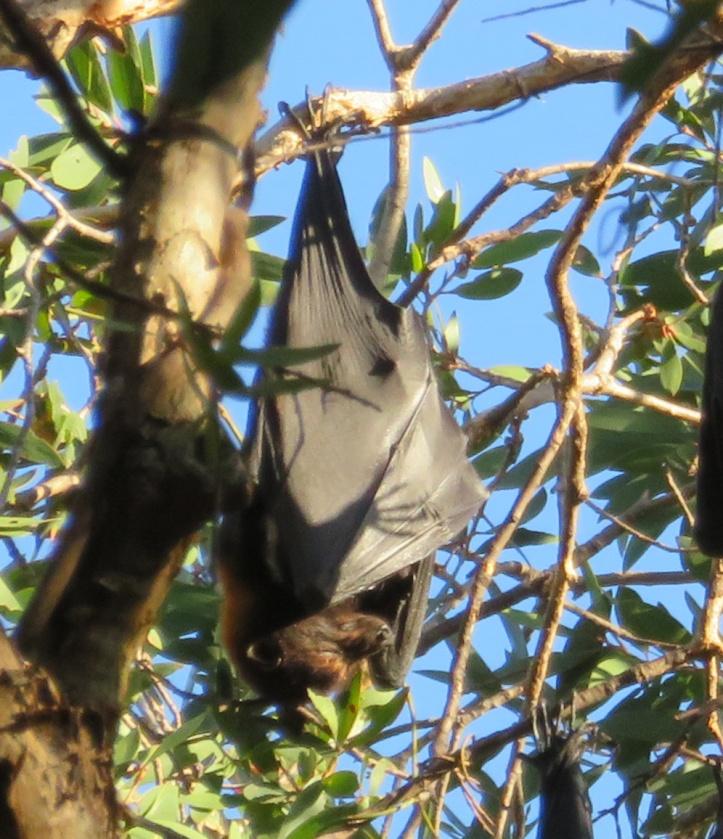 bat cropped