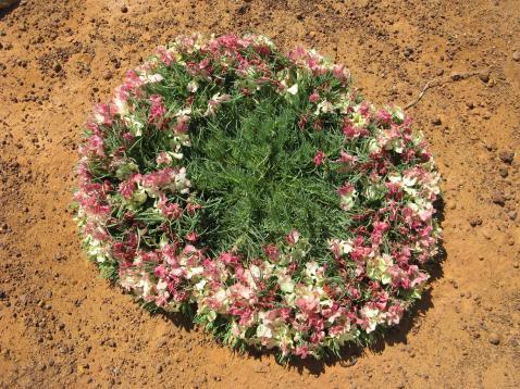 wreath flower lechenaultia macrantha_3264x2448