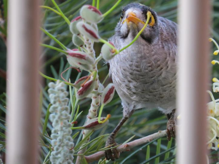 desert rose minor bird 030_4000x3000