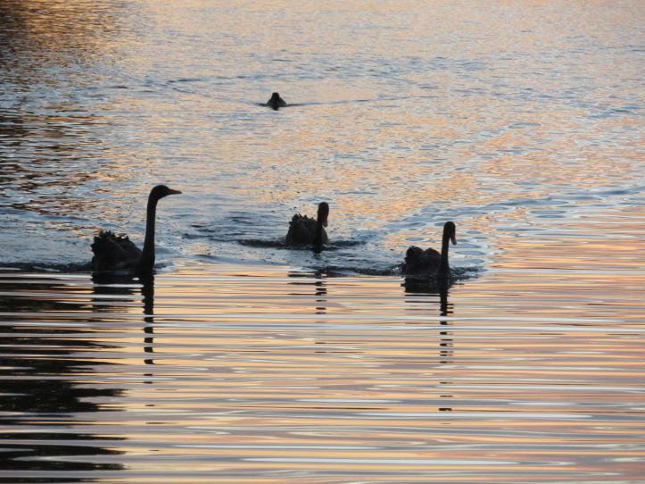 sunset swans leaves 043_5184x3888