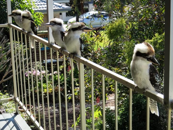 kookaburras (1 of 6)_4000x3000