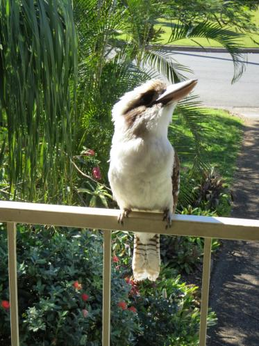 kookaburras (2 of 6)_3000x4000