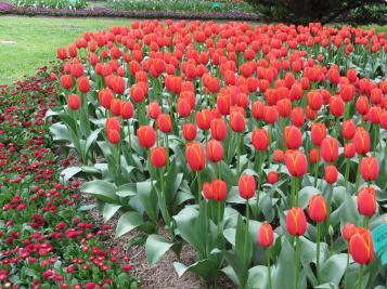 Tulip Tops PC sx40 012_4000x3000