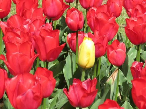 Tulip Tops PC sx40 038_4000x3000
