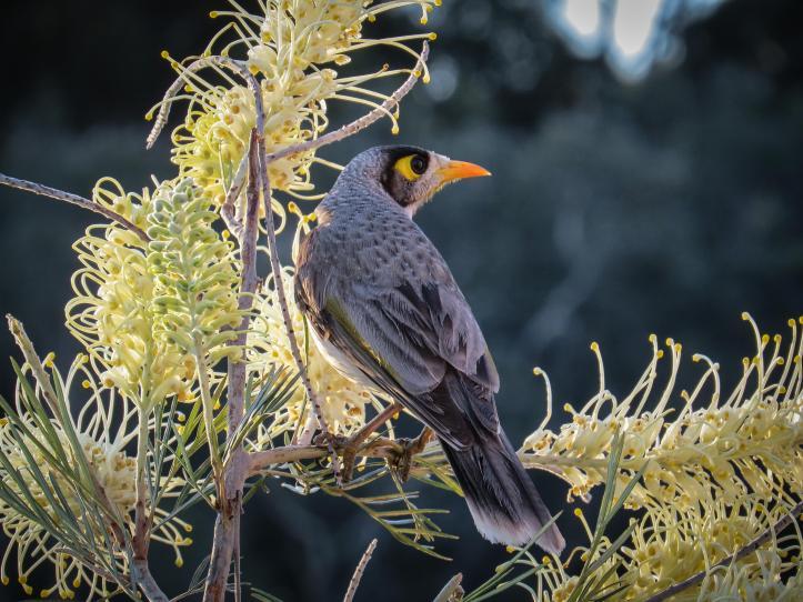 grevillia seeds birds (4 of 5)_4000x3000