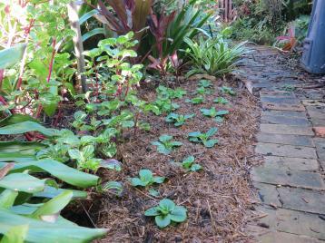 Polyanthus seedlings