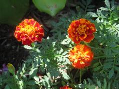 marigold_5184x3888