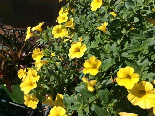 calibrachoa yellow_2592x1936