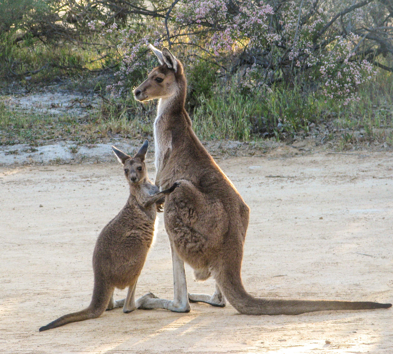 Australian animals-5