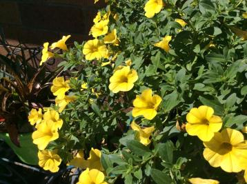 calibrachoa yellow_2592x1936